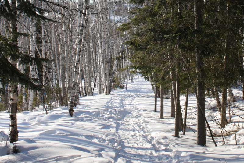 A snow-covered path with lots of footprints, birch trees on the left and pine trees on the right