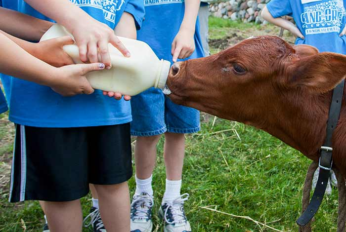 Kids bottle-feeding a brown calf