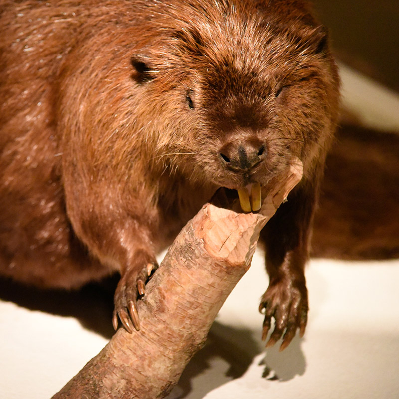 A taxidermied beaver uses its teeth to cut a log.