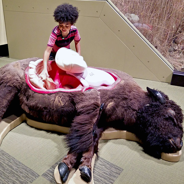 A little boy places fake organs in to a stuffed bison.