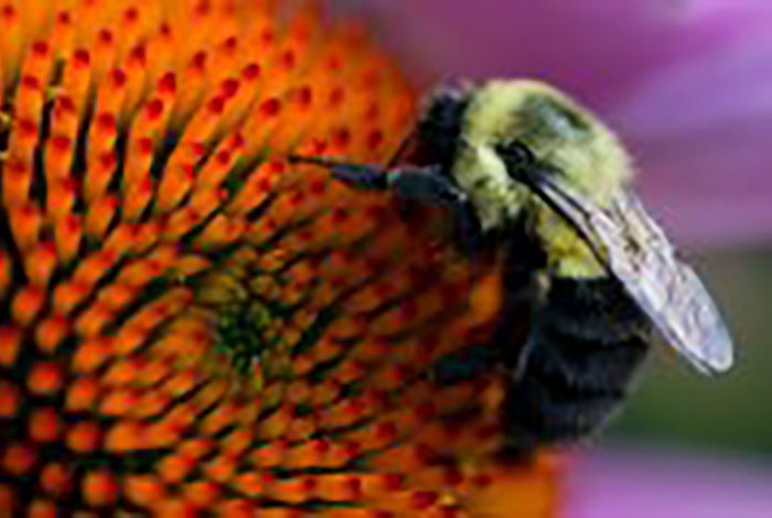 Bumblebee on purple coneflower.
