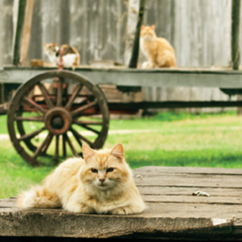 An orange cat resting on a porch, with two cats on a wagon in the background