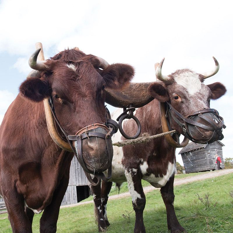 Closeup of two oxen