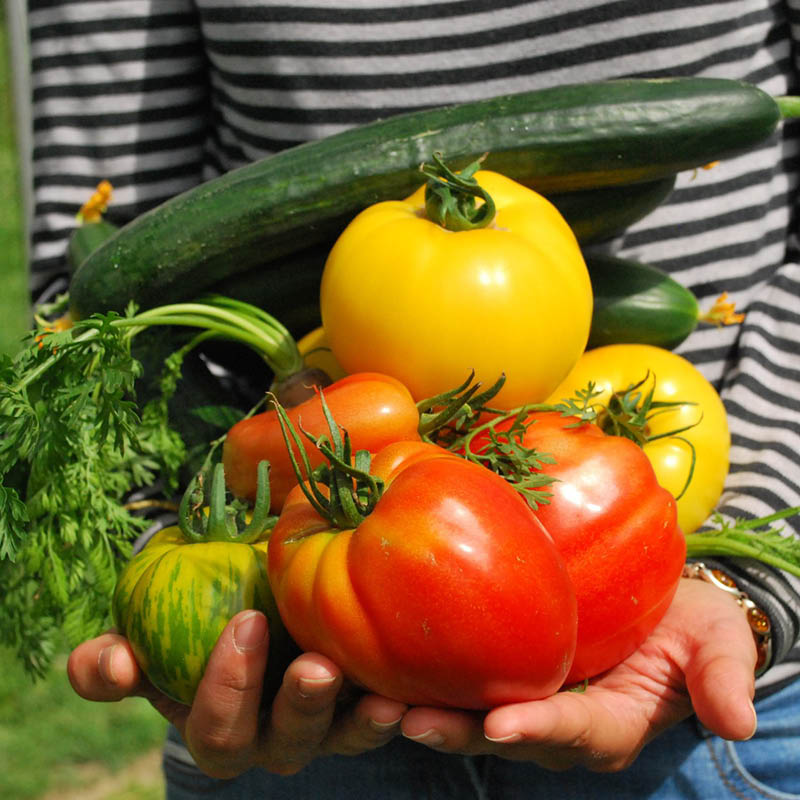 Cupped hands holding red, orange, yellow, and green tomatoes and two zucchini