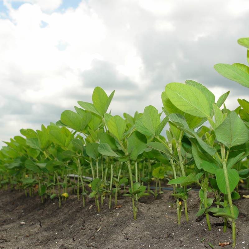 Closeup of a row of soybeans