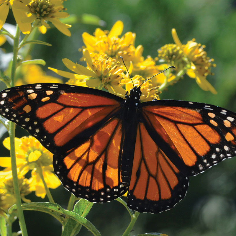 A monarch butterfly rests on a yellow flower.