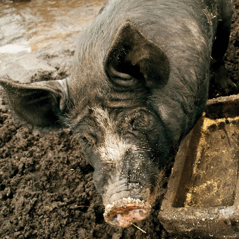 Closeup of a dark pig in dirt