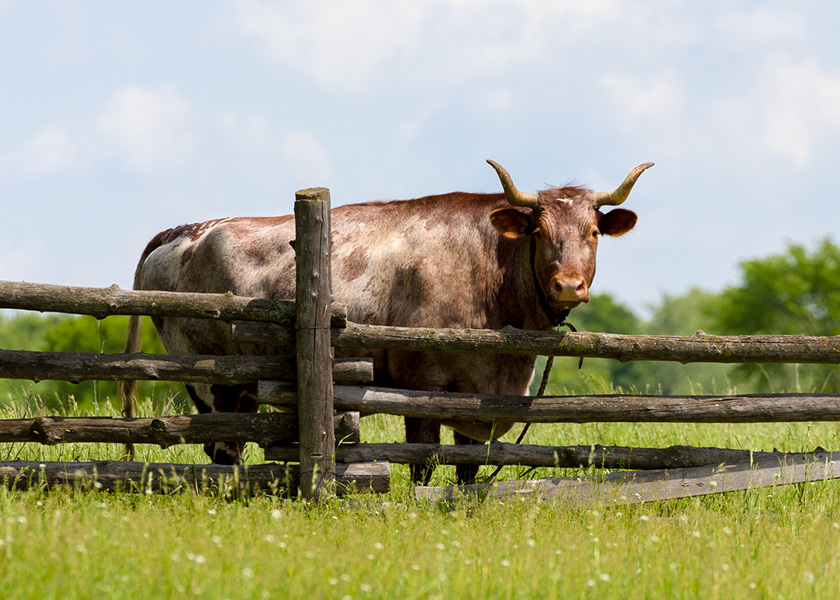 Oxen standing next to a fence.