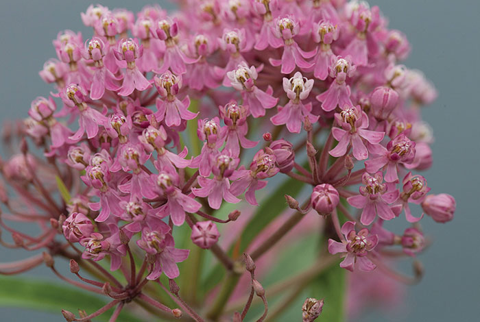 Purple-pink milkweed flowers.