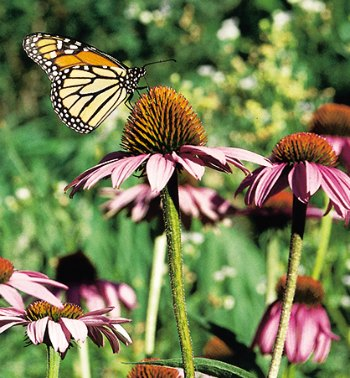 monarch butterfly on purple coneflower, from the side