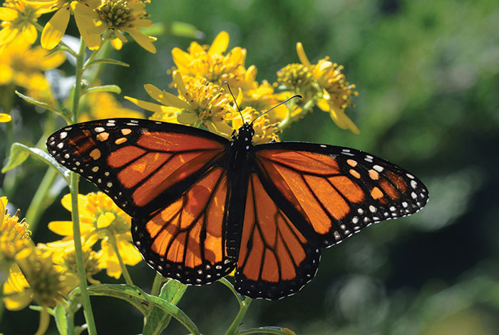 A monarch butterfly with wings open on a yellow flower, from above.
