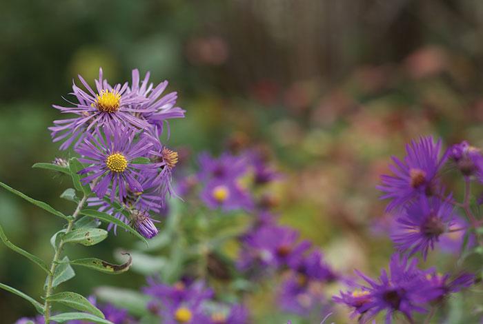 Purple daisy-like flowers.