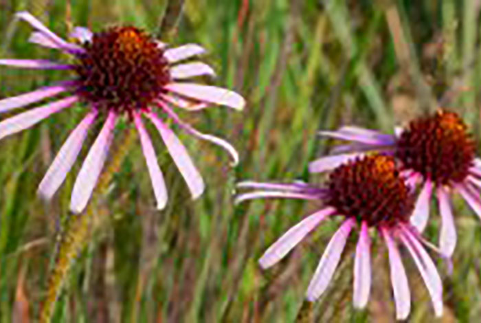 Flowers with a large center and narrow, pink petals.