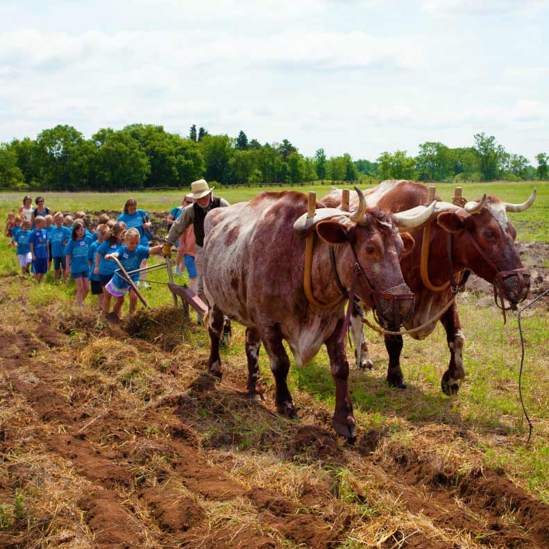 Two oxen followed by a farmer and a class of students wearing blue t-shirts