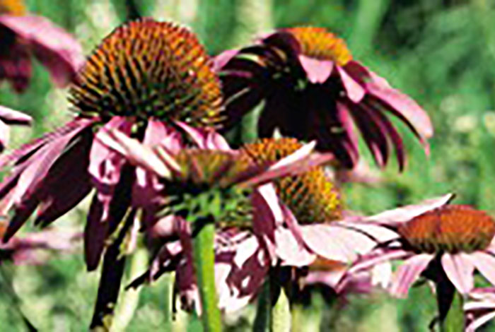 Flowers with a large reddish cone in the center and pink petals drooping.