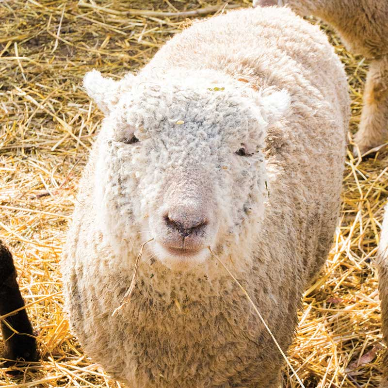 A sheep looking into the camera