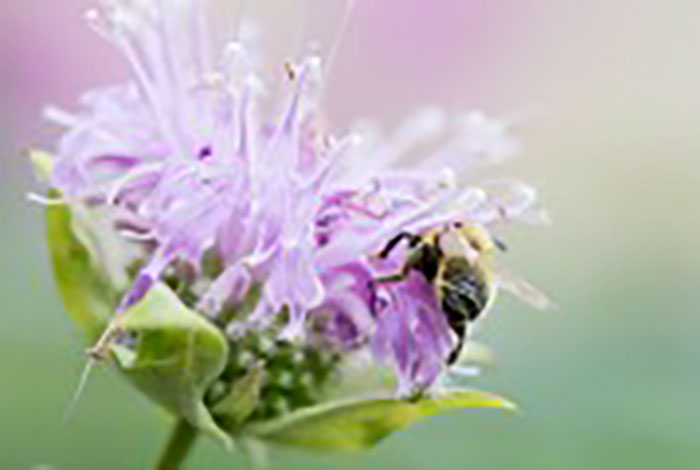 Pinkish-purple tube flowers with a bee.