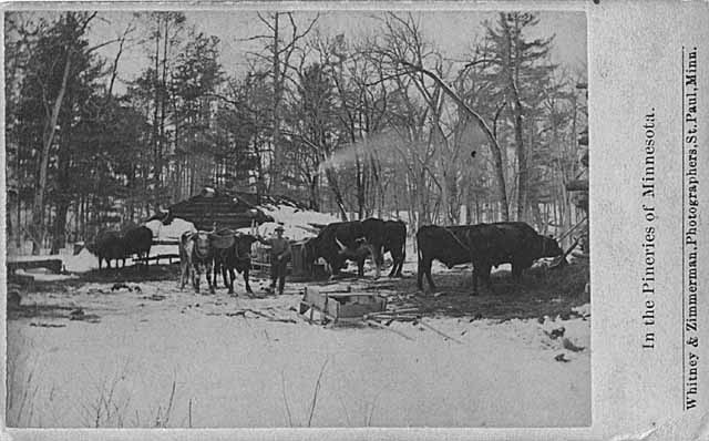 Postcard of oxen eating outside of the stables at Minnesota lumber camp, 1870.