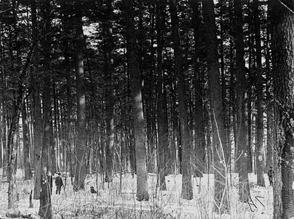 Photo of standing pines, 1901.