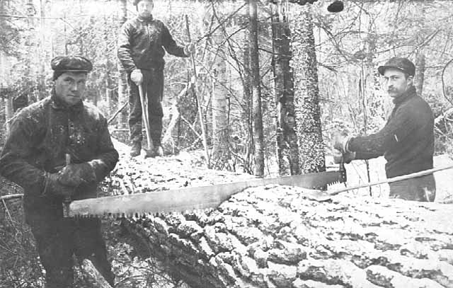 Photo of two men using a cross-cut saw on a fallen tree, a third man stands on the tree holding an axe and a tree branch that he removed, 1905.