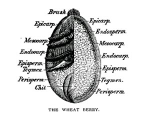Cutaway diagram of a wheat berry indicating its layers.