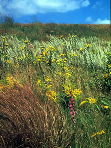 Scene from a Tallgrass Prairie