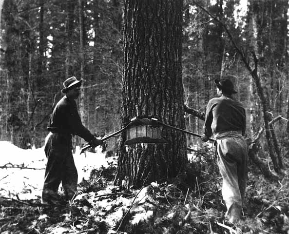 Photo of undercutters chopping into a tree in winter.