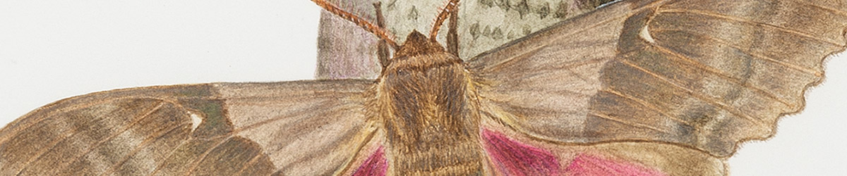Drawing of a moth.