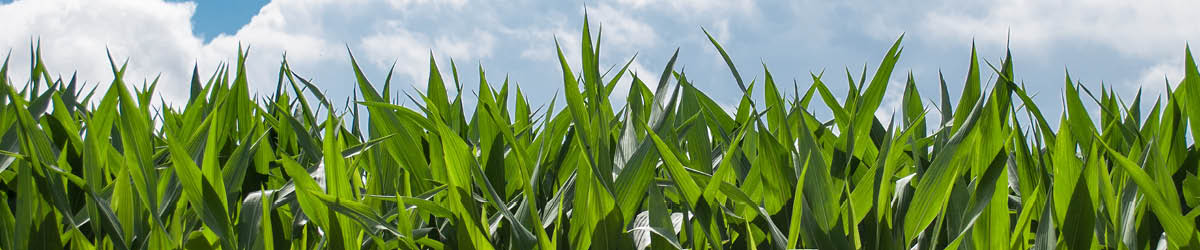 Closeup of a corn field with a blue sky and clouds in the background