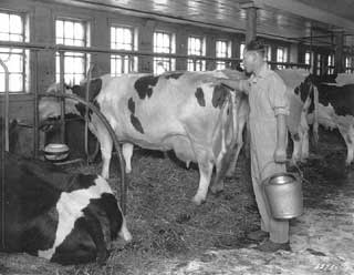 Dairy barn interior, Lake Elmo, 1927.