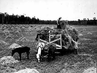 Haying near Blackduck, 1937.