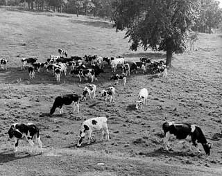 Photo: Holstein herd on typical Minnesota dairy farm, 1938.