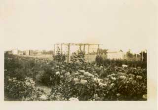 Grape arbor amid zinnias, Dean farm, 1930s.