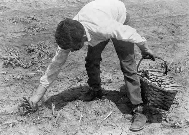 A Mexican American migrant farm worker harvesting asparagus near Owatonna, ca. 1955.