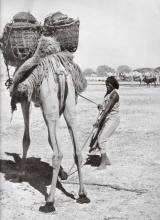 Woman guides her camel